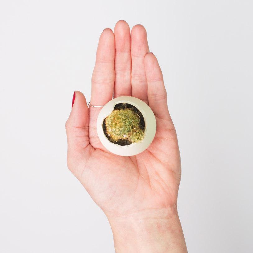 Egglings (Cactus) 2